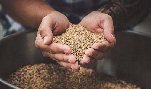 Landwirt hält Getreide in seinen Händen